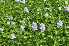 Water Hyacinth: When Water Plants Escape.  Native gardeners hear a lot about invasive plants from other areas. Water hyacinth is one of the most beautiful, and infamous, of these escapees. birdsandblooms.com