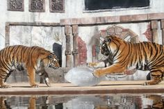 Handout photo of Siberian tigers Maksim and Mischa playing with a block of ice carved as a football in Vallejo