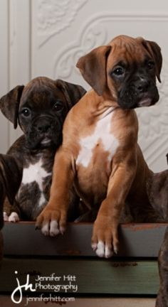 Rocket Boxer Puppies - Week8 aww makes me want another one. Looks like our two we have a fawn named Sugar and a brindle named Daisy!