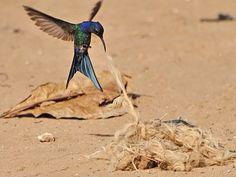 Foto beija-flor-tesoura (Eupetomena macroura) por Celi Aurora | Wiki Aves - A Enciclopédia das Aves do Brasil