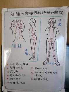 東洋医学では、ツボを通る経絡という流れが全身に12本あるとされ、そのうちの6本がふくらはぎなどの下半身を通っています。 自律神経や胃腸、目など体の器官や...