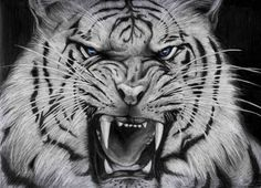 Curious Cat, Siberian Tiger wallpapers Wallpapers) – Wallpapers For Desktop White Tiger Tattoo, Tiger Head Tattoo, Tiger Tattoo Design, Tiger Design, Head Tattoos, Tattoo Designs, Angry Tiger, Pet Tiger, Tiger Wallpaper