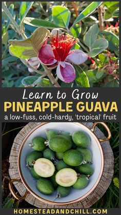 Pineapple guava (also known as feijoa) are delicious, low-maintenance, pest-resistant, and beautiful. They're also one of the most cold-hardy guavas around! What's not to love? Come learn all about how to grow pineapple guava, with tips on planting, growing zones, different varieties, harvest time & more. . #pineappleguava #feijoa #gardening #gardentips #homestead Backyard Vegetable Gardens, Fruit Garden, Edible Garden, Herbs Garden, Tropical Garden, Pineapple Guava Tree, Guava Fruit, Guava Plant, Gardens