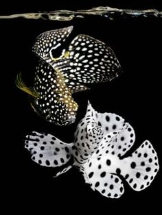 A study in black & white: marine betta & juvenile panther grouper