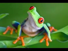 Frog stares at me. WELL I DONT CARE! You have red eyes and I have human eyes and you will leave like a jumping insect! Lol just joking your just a natural frog Frog Wallpaper, Animals And Pets, Cute Animals, Frog Pictures, Frog Pics, Frog Tattoos, Red Eyed Tree Frog, Frog Art, Cute Frogs