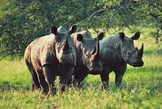 10 Wild Safari Animals (And Where to See Them): Rhino African Rhino, African Safari, Wildlife Wallpaper, Save The Rhino, Wild Animals Photos, Wild Creatures, Kruger National Park, Game Reserve, Mundo Animal
