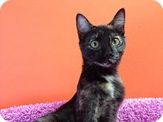Topeka, KS - Domestic Shorthair. Meet Libby, a kitten for adoption. http://www.adoptapet.com/pet/11538801-topeka-kansas-kitten