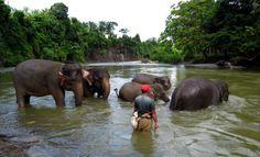 bathing the elephants in sumatra
