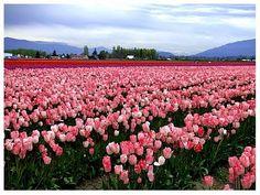 tulip memes | Washington State Tulip Festival