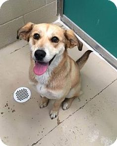 Bryan, TX - Shepherd (Unknown Type) Mix. Meet , a dog for adoption. http://www.adoptapet.com/pet/15038626-bryan-texas-shepherd-unknown-type-mix
