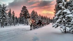 Reindeer sleigh ride, in Inari, Lapland, Finland. By asturianuenlaponia | instagram