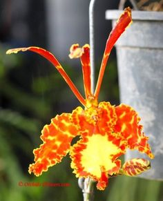 Butterfly Orchid Psychopsis Mariposa