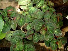 rex begonia | Rex Begonia Plant
