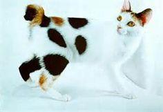 Japanese Bobtail cat Japanese Bobtail, Funny Animals, Cute Animals, Bobtail Cat, Portuguese Water Dog, White Cats, Domestic Cat, Dog Walking, Beautiful Cats