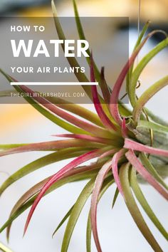 Did you know that air plants still need water?! But how do you water plants with no roots??? Find out in my post on how to water air plants! #indoorplant #airplantlove Air Plant Care | Air Plant Care Tips | How to Care for Air Plants | Tillandsia Care | How to Water Air Plants | How to Water Tillandsia | Tillandsia Care Tips | Air Plant | How to Grow Air Plants | Indoor Air Plant Care | Air Plants Care, Plant Care, Best Indoor Plants, Outdoor Plants, House Plants Decor, Plant Decor, All About Plants, Apartment Plants, Low Light Plants