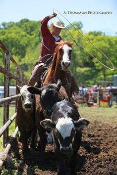 Cowboys, ranching, cattle, roping, horses.