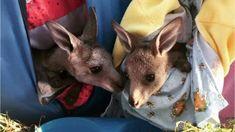 Crafters knit koala mittens, joey pouches for animals injured in Australian bushfires Australian Animals, Animal Kingdom, Lions, Mittens, Kangaroo, Animal Pictures, Knitting, Bugs, Flora