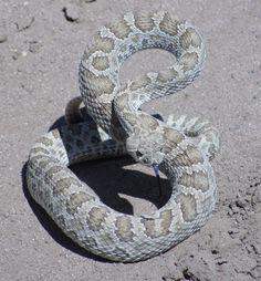 Prairie Rattlesnake #snake #western #southwestern