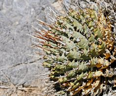 PlantFiles Pictures: Utah Agave, Yant (Agave utahensis var. eborispina) by palmbob