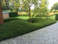 Evergreen ground covering shrubs pruned to clouds. multi-stemmed large shrubs - Another! Garden Hedges, Garden Paths, Fence Garden, Garden Planters, Garden Tips, Modern Landscaping, Backyard Landscaping, Amazing Gardens, Beautiful Gardens