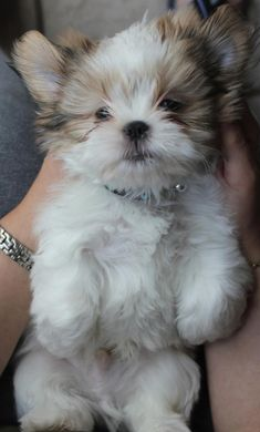 ✿ڿڰۣ(̆̃̃❤Aussiegirl #Adorable   Shih Tzu puppy.