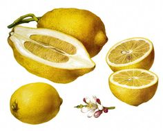 Vintage Lemon - Citron Fruit Digital Download, Perfect for Pillows, Tote Bags, Tea Towels. $1.50, via Etsy. Coin purse