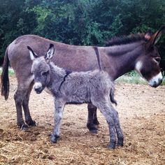 Baby miniature donkey and his mother
