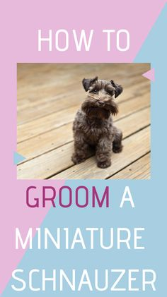 How To Groom A Miniature Schnauzer - Douglas Dog Hotel Schnauzer Cut, Schnauzer Breed, Schnauzer Grooming, Dog Grooming Tips, Miniature Schnauzer Puppies, Pet Tips, Cute Dogs And Puppies, Puppies For Sale, Doggies