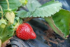 A strawberry at Goomboorian, near Gympie in Queensland, Australia Strawberry Garden, Strawberry Recipes, Strawberry Fields Forever, You Mean The World To Me, Wild Strawberries, Flower Farm, Winter Garden, Vegetable Garden, Mother Nature