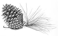 Pine Cone Botanical Illustration. Archival by