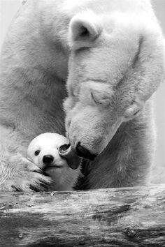 Polar Bears. °