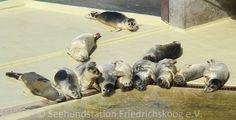"""Seehundstation Friedrichskoog e.V.  ***Aktuelle Heulerzahlen***  Junge Seehunde: 230  Die Fütterungen von """"Gretel, Ella"""" & Co. finden täglich um 11:00 und 14:30 Uhr statt."""