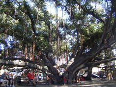 The second largest Banyan tree in the world. It's branches reach out like a giant spider on the island of Maui