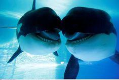 Fin de una era para las orcas cautivas | Ciencia | EL PAÍS