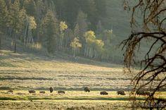 Bison grazing in the evening light. #lamarvalley #yellowstone #yellowstonenationalpark #nationalparks #bison #pocket_wildlife