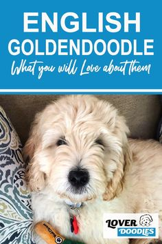 The English Goldendoodle is a friendly and intelligent breed, which is perfect for beginner dog owners! Here are all the reasons you will Love this doodle breed! #Goldendoodle #EnglishGoldendoodle #LargeDogBreeds English Goldendoodle, Goldendoodle Grooming, Cavapoo, Labradoodle, Doodle Dog Breeds, Outdoor Dog Toys, Small Doodle, Puppy Facts, Purebred Dogs