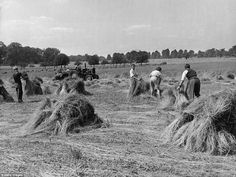 Agricultural: Farm workers harvesting flax in Richmond Park. The area surrounding the park...