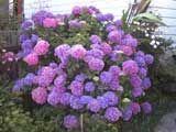 Aves del para so planta de sol plantas de sol pinterest - Hortensias cuidados poda ...