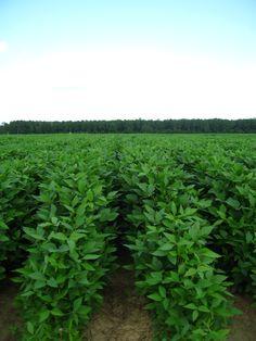 Soybeans  Prickett Farms