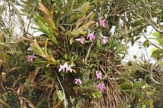 Habitat - Cattleya intermedia e outras orquídeas e bromélias - 18 by Luiz Filipe Varella, via Flickr