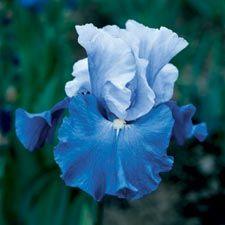 """Iris """"Sky Spirit"""""""