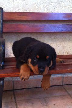Puppy rott