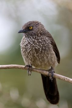 Arrow-marked Babbler (Turdoides jardineii) is a species of bird in the babbler family Timaliidae. The common name for the species is derived from its plumage, which is brownish-grey above and lighter below, with white tips to the feathers on the throat, neck and head. The iris is bright red and the inner ring of the eye bright yellow or orange. The males and females are identical in appearance.