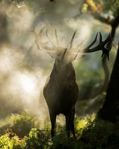 Spectral deer #reddeer #cervuselaphus #nature #wildlife #naturephotography #deer #mammal #rut #stag #autumn #forest #berrea #ciervo #uk #bellowing #wildlifephoto #backlithing #backlight #natgeo #natgeoyourshot #nikon