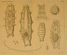 Beiträge zur Naturgeschichte der Tardigraden - BioStor