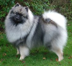 Keeshond- Distinctive facial markings called spectacles set apart this breed of Dutch origin and give it a look of great intelligence, a look that is borne out by the breed's alert, lively and trainable nature. My dutch-grandpa's nickname was Kees actually..too quite