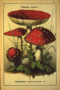 Vintage illustration of toadstool mushroom Botanical Drawings, Botanical Prints, Illustration Botanique, Mushroom Art, Photo D Art, Nature Illustration, Nature Prints, Vintage Prints, Flora