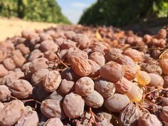 Check out #CAgrown raisins in this vineyard! Drying by the sun!