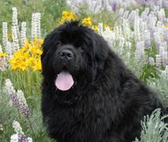 newfoundland dog <3  If there were a big black birthmark on the tongue and a bald spot on the rump this would look a lot like my old dog Bear :)