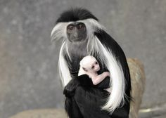 An Angolan colobus monkey born at Brookfield Zoo on March 9 is pictured with its mom, Olivia. Read more. (Credit: Jim Schulz/Chicago Zoological Society)